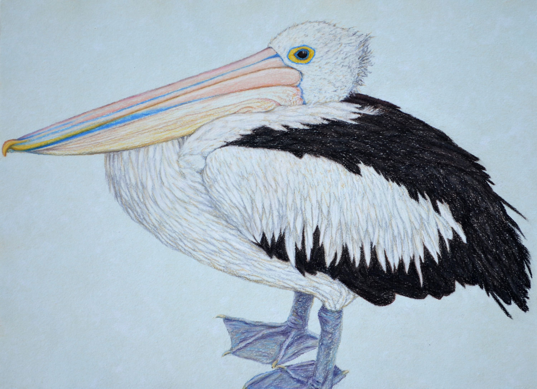 Pelican Resting 33.5 x 45.5 cm  Pastel on handmade paper  SOLD