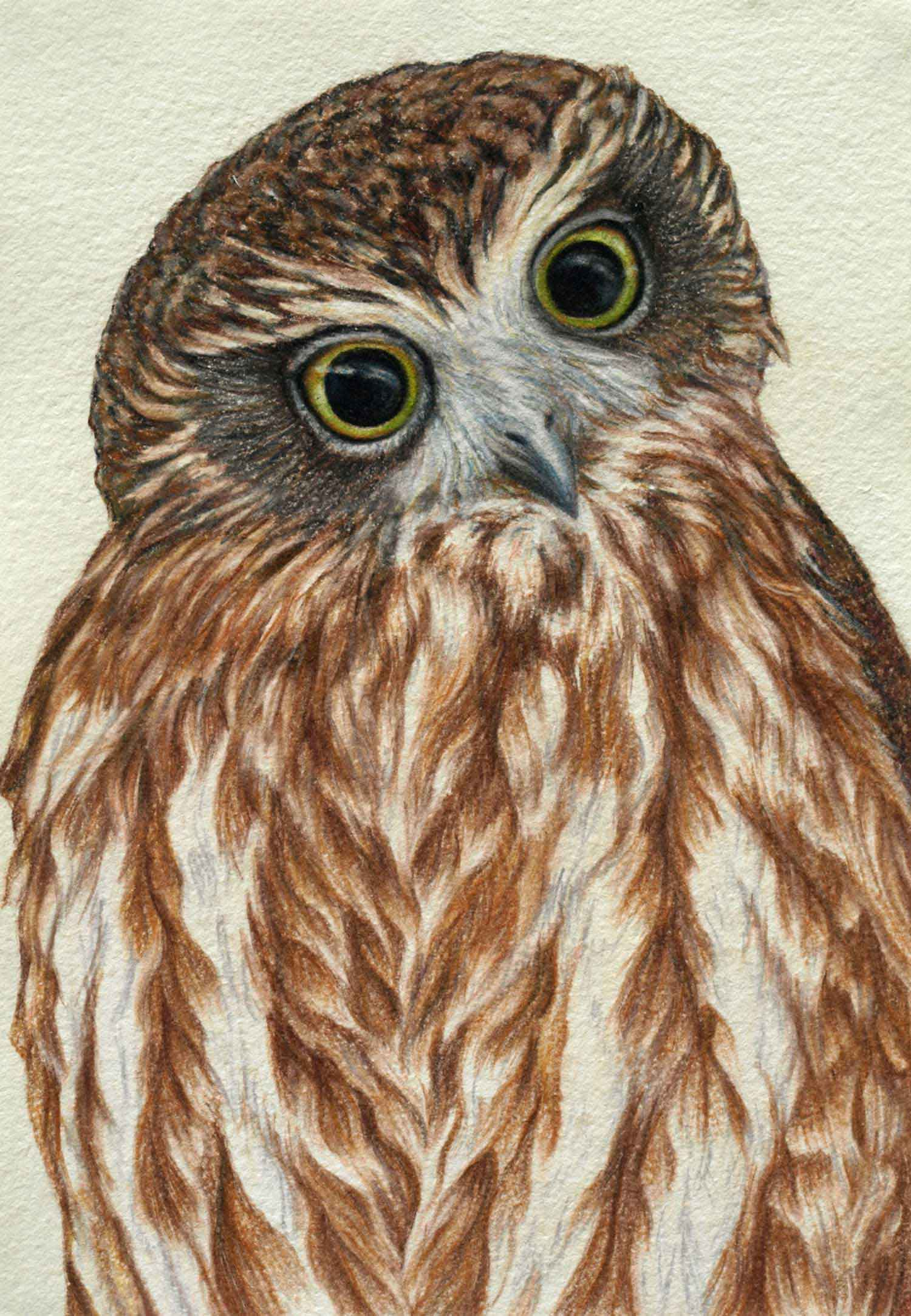 Boobook Owl 30 x 21 cm  Pastel on handmade paper  SOLD