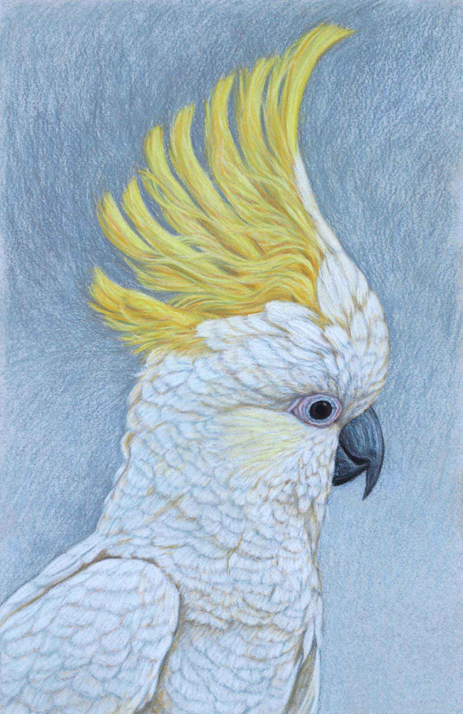 Sulphur Crested Cockatoo III 41.5 x 27 cm  Pastel on handmade paper  SOLD