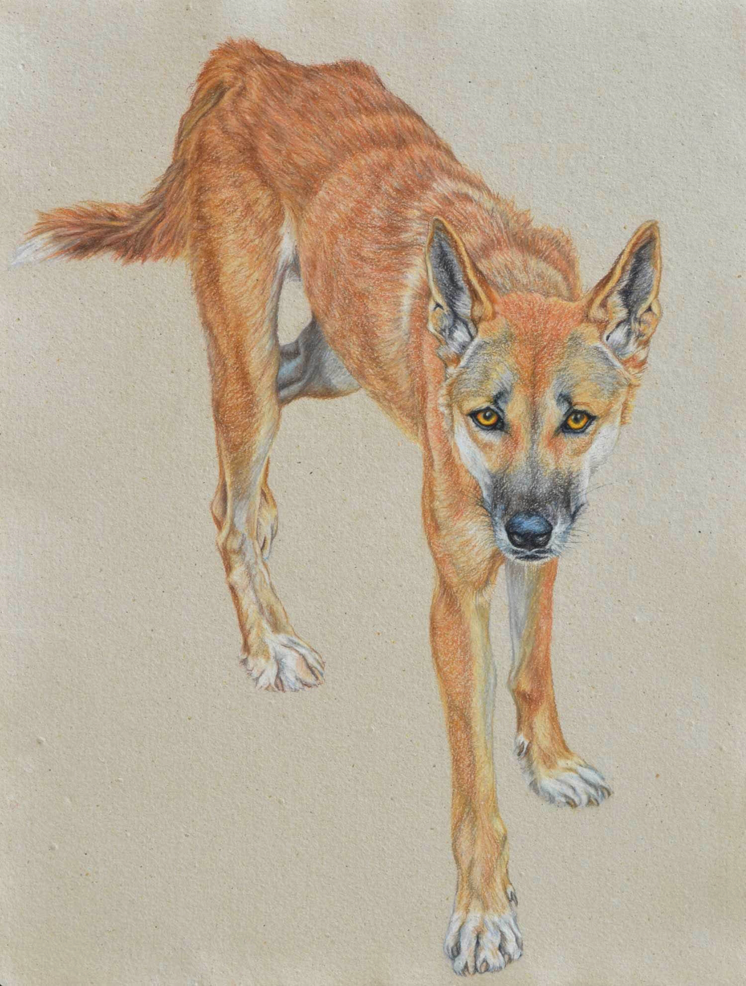 dingo-2-drawing-rachel-newling.jpg