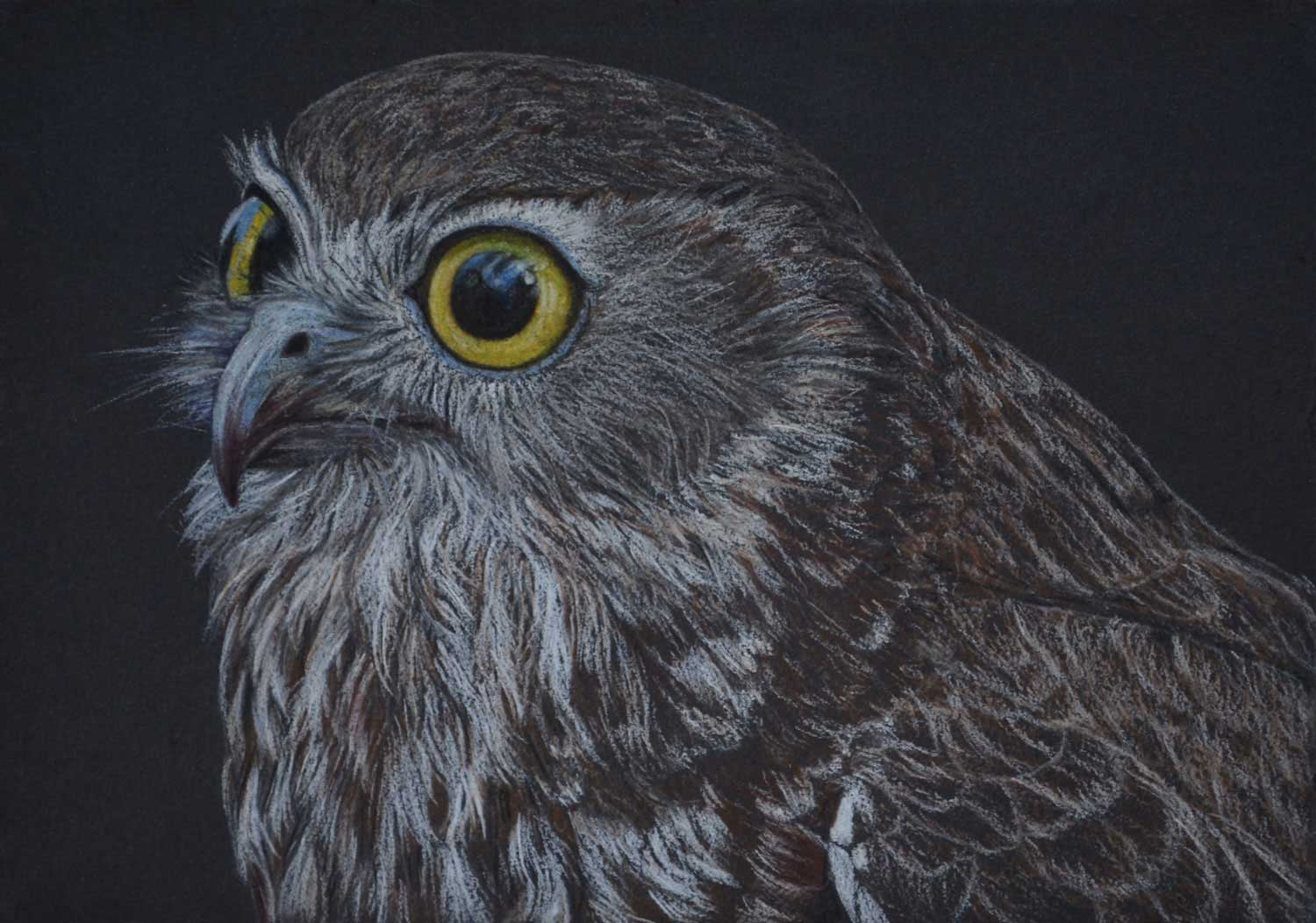 Boobook Owl  26 x 37 cm , Pastel Drawing on handmade paper  Available as a limited edition print  $650