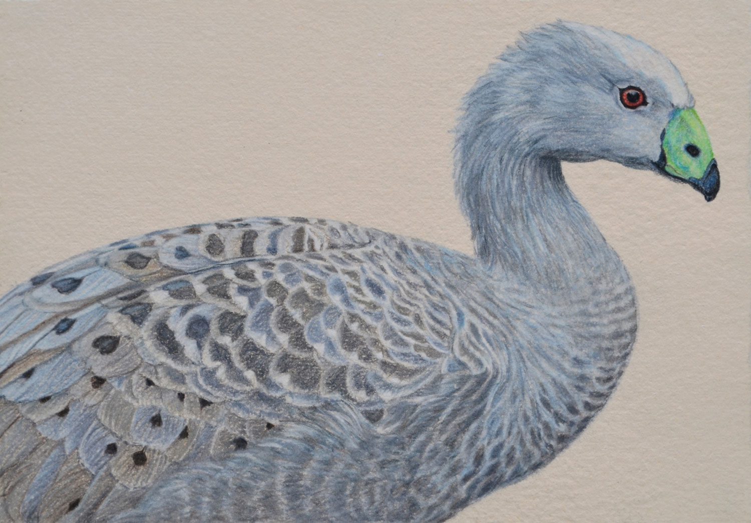 cape barren goose  26 x 37 cm, Pastel Drawing on handmade paper  Available as a limited edition print  $650