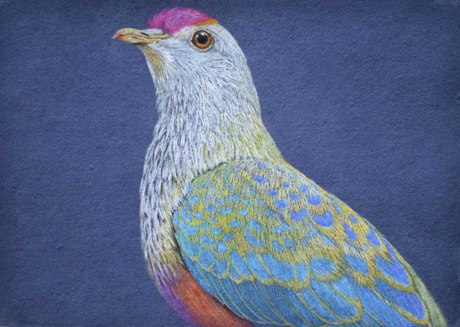 Rose crowned fruit dove  26 x 37, cm Pastel Drawing on handmade paper   Available as a limited edition print  $650
