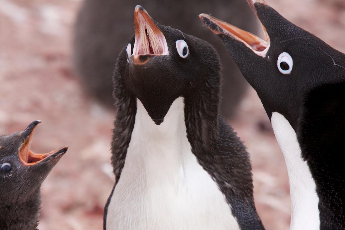 Adelie penguins..jpg