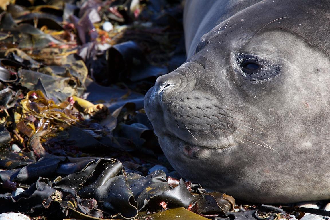 Elephant seal at Macquarie Island..jpg