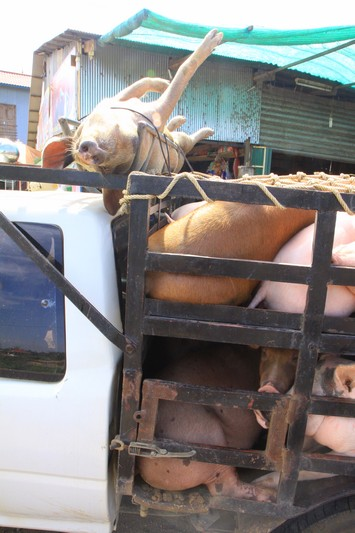 Yet another example of how animals are treated as these pigs are transported live.