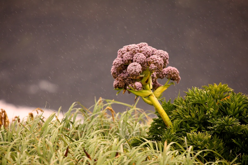 So called 'megaherbs' found only in the subantarctic islands.