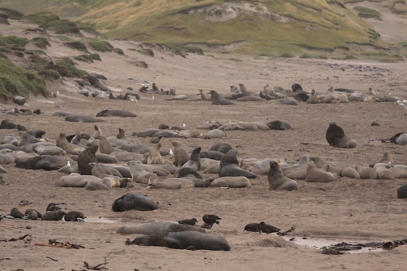 A male beachmaster keeps up to 500 females in his harem, fighting off all others who come into his territory.