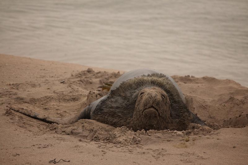 A non-dominant male Hooker sea lion