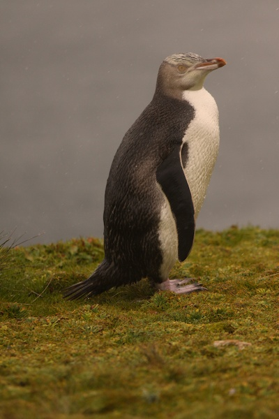 The rather shy yellow eyed penguin.