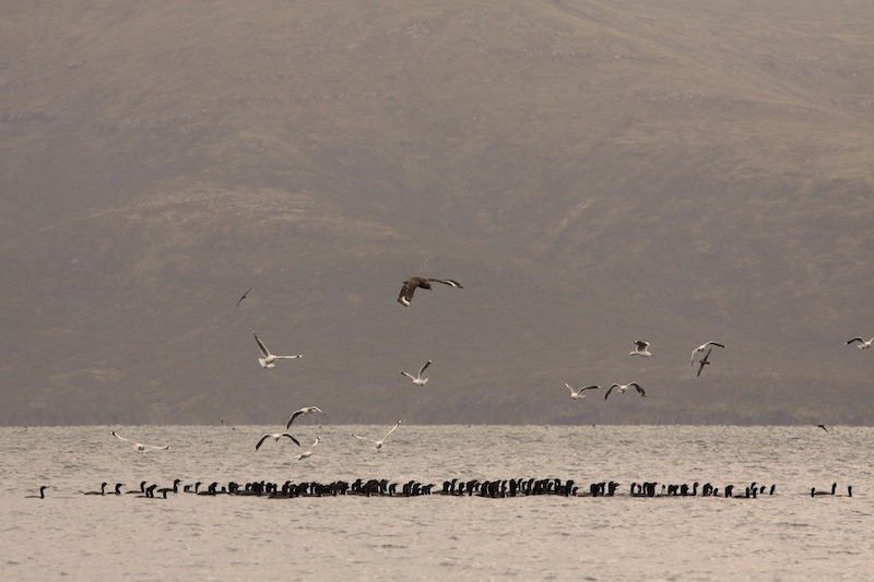 Shags, seagulls and skuas all feed on something in the sea.