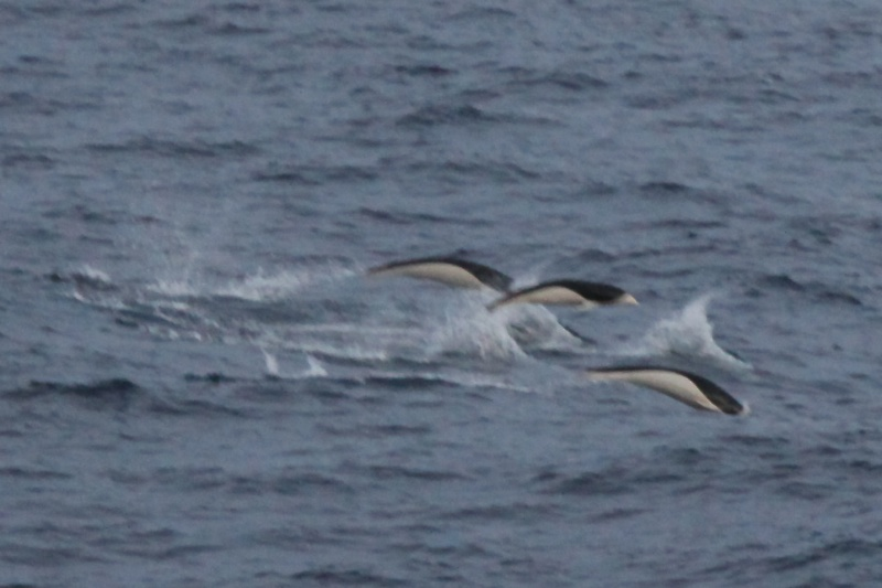The rare southern right whale dolphin seen near a pod of pilot whales.