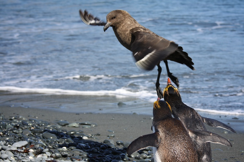 Two royal penguins scare away a skua who eagerly something to eat.