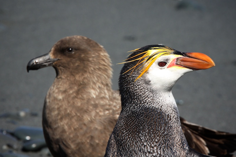 A royal penguin and a skua.