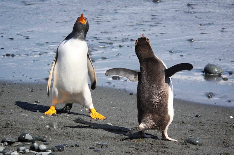 A gentoo penguin and royal penguin do a song and dance.