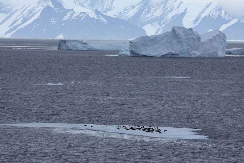 Adelie penguins rafting up on an ice floe.