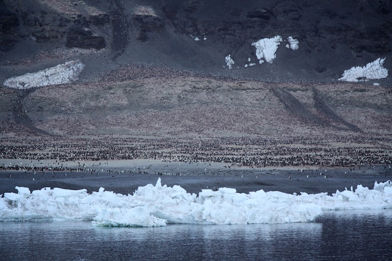 350,000 breeding pairs of Adelie penguins live on the snow free spit at Cape Adare.