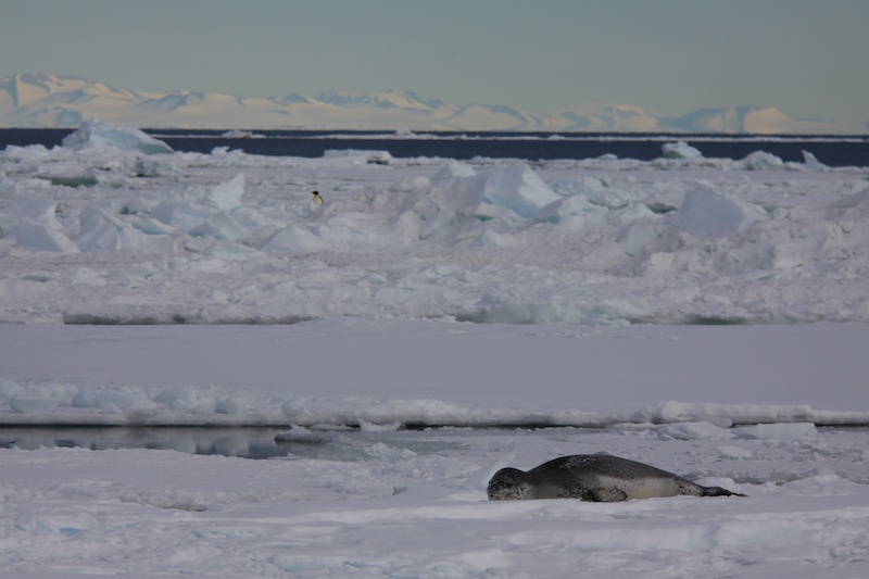 A leopard seal at rest.