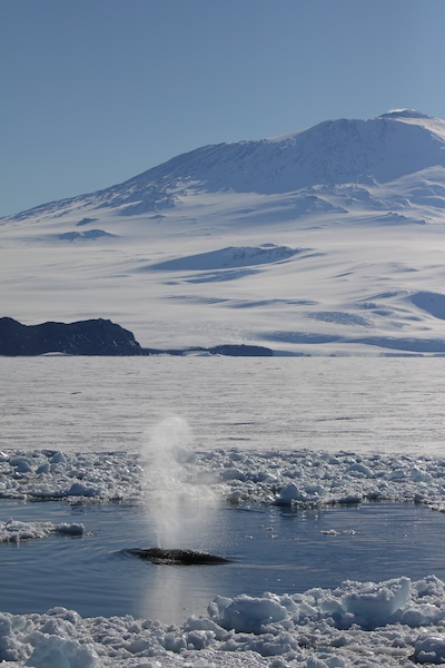 Minke whale breaching in front of Mt. Erebus.