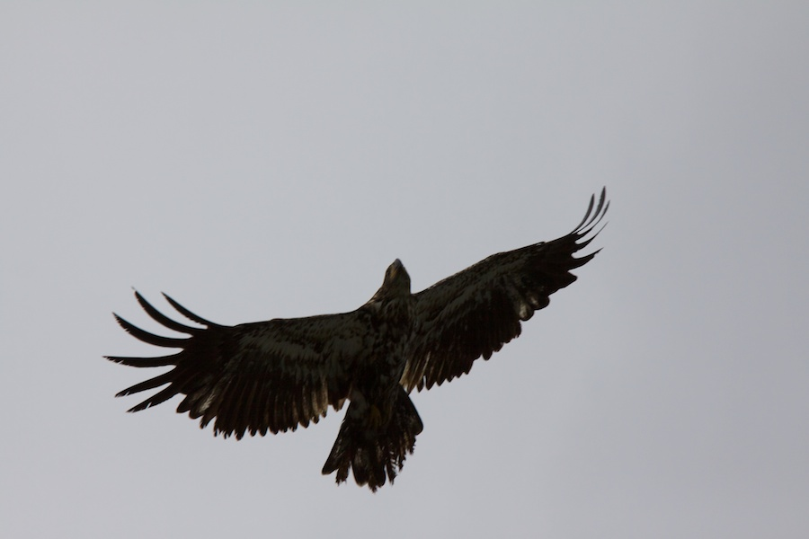Either a young bald eagle or a golden eagle.