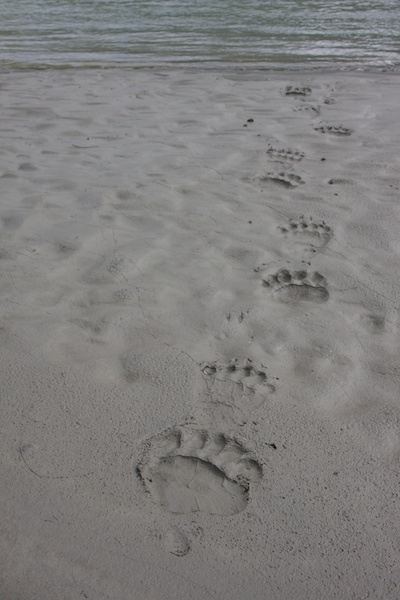 Ever present, bear, wolf and moose prints along the riverside.