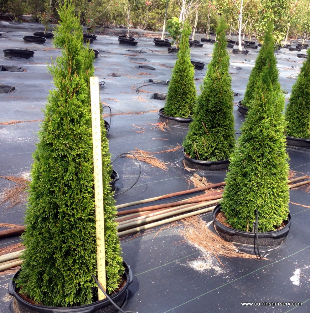 Young crop of #15 Emerald Arborvitaes. All single-stem and sheared.
