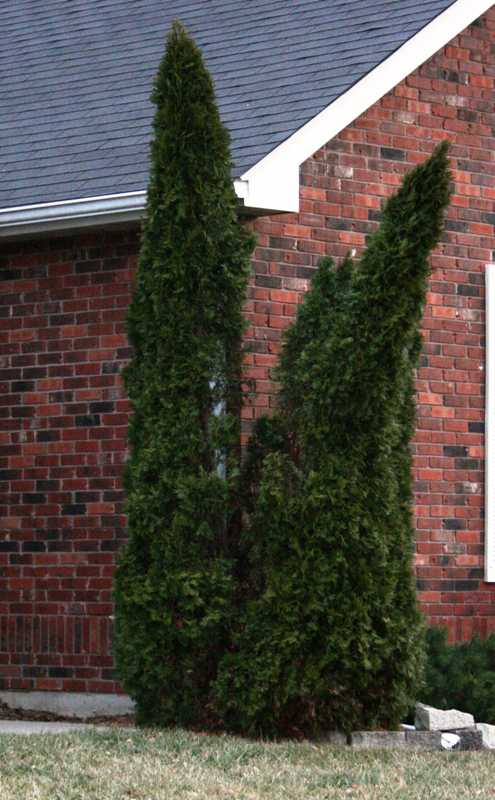 Don't let this happen to your customers' Emerald Arborvitae!