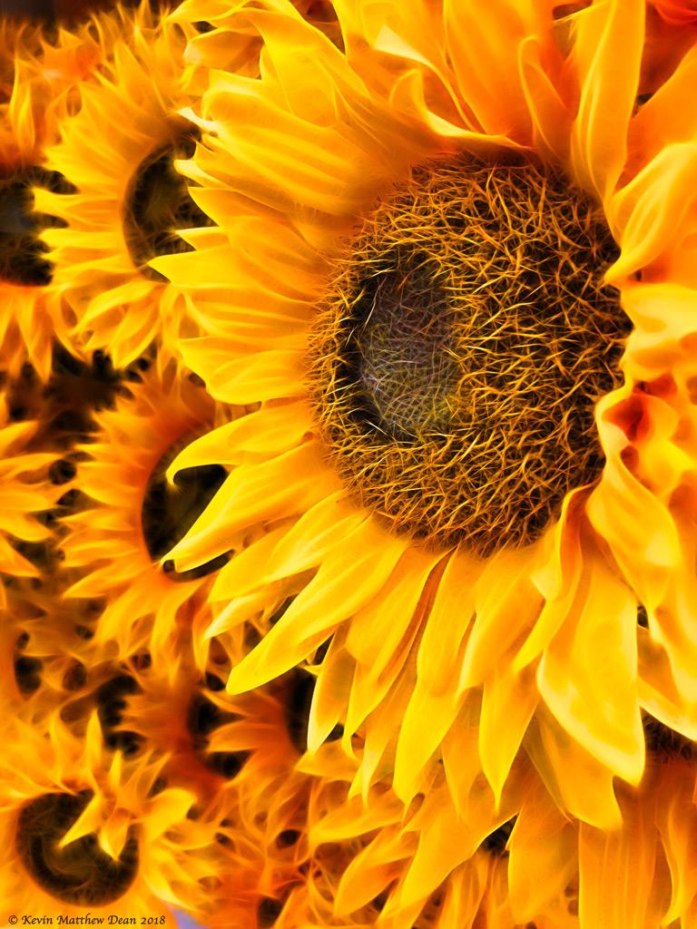 FlamingSunflowers.jpg