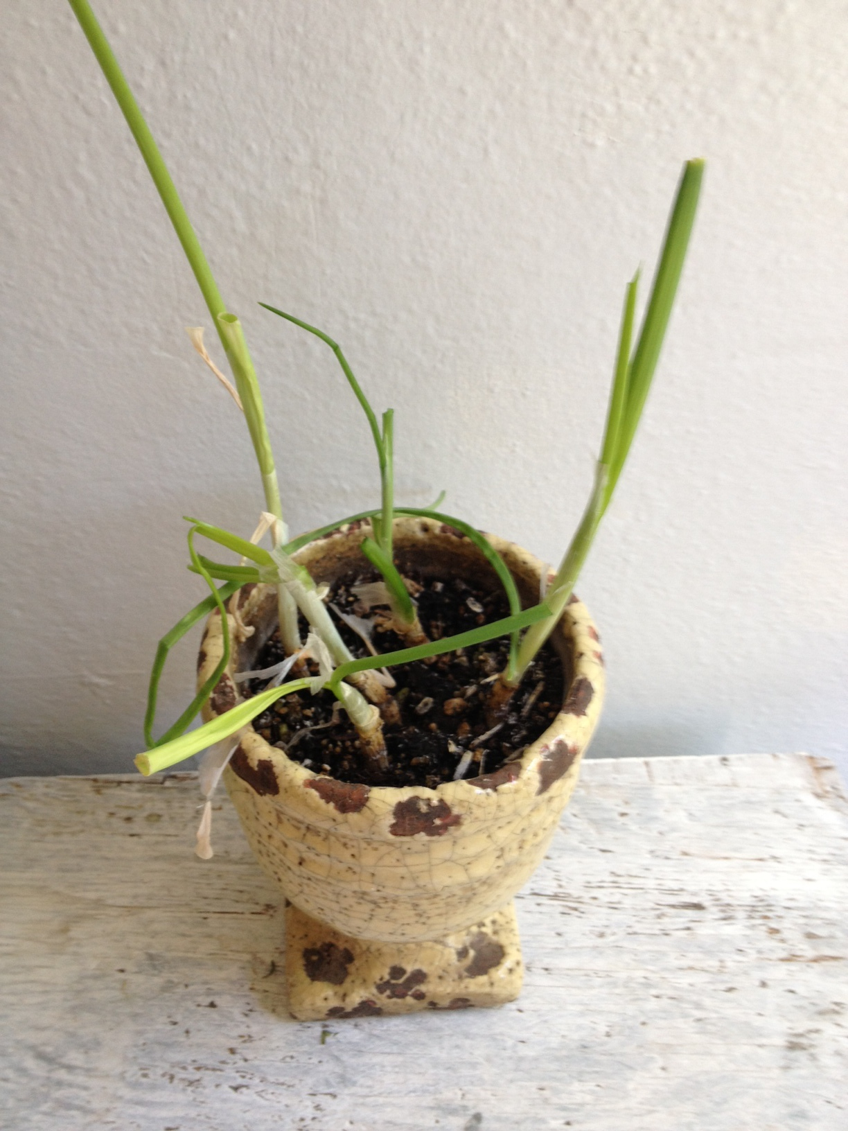 regrown green onions.JPG