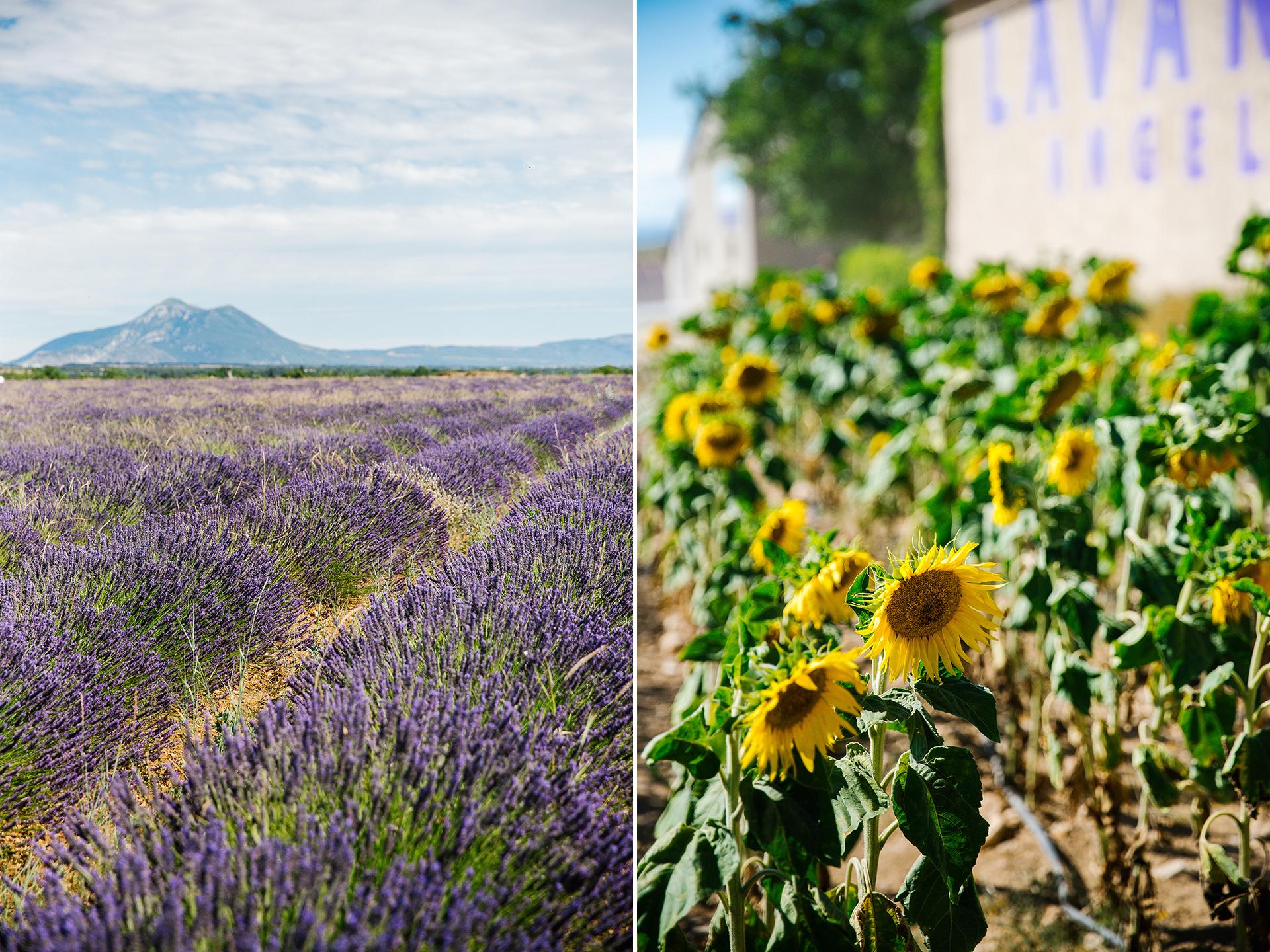 Champs de Vallensol lavendar fields Provence July.jpg