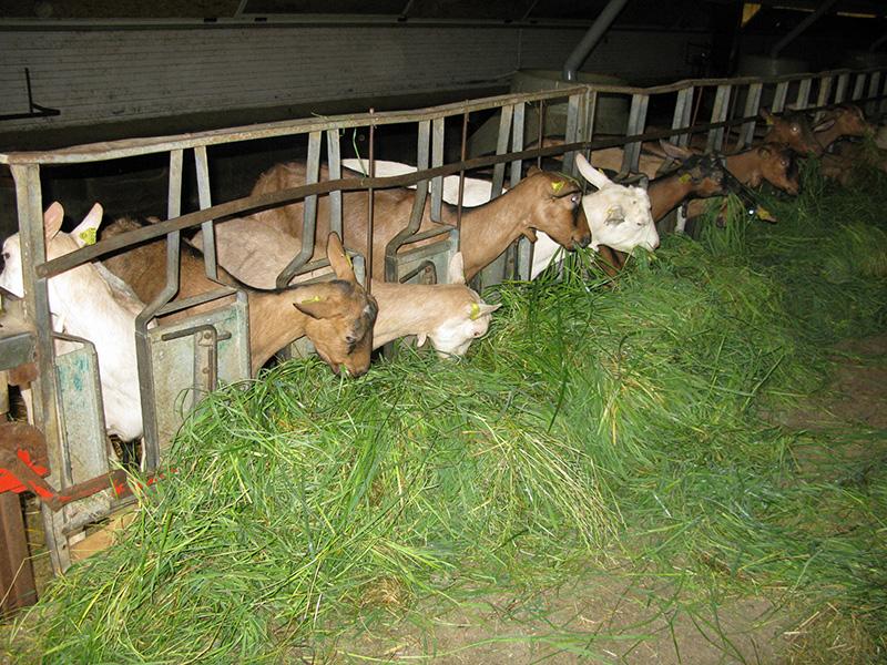 Goats feeding on freshly cut grass.