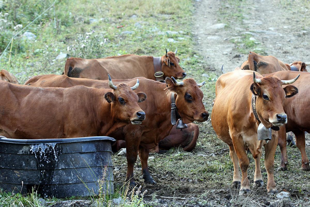 Tarine cows