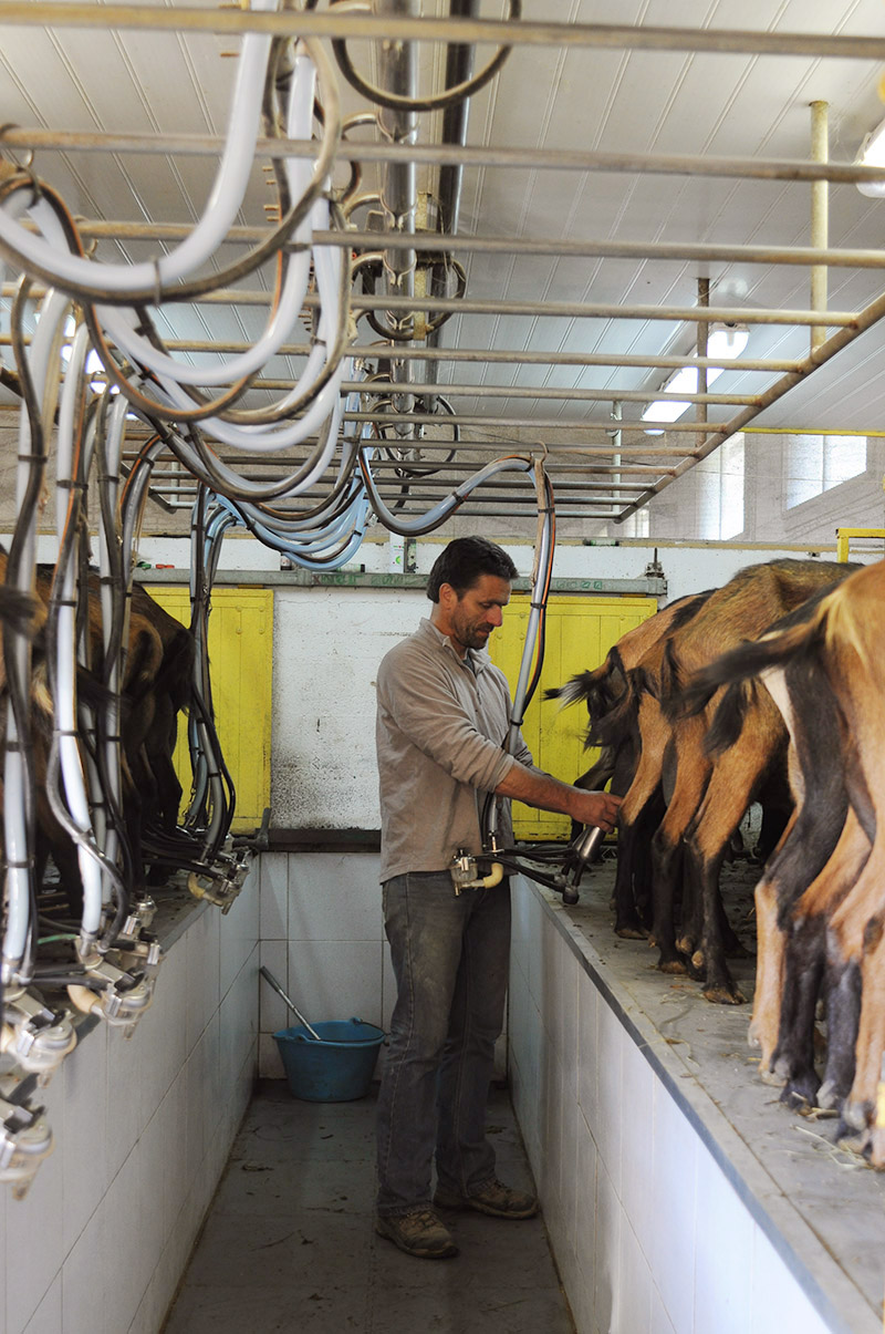 Jacques in the milking parlour