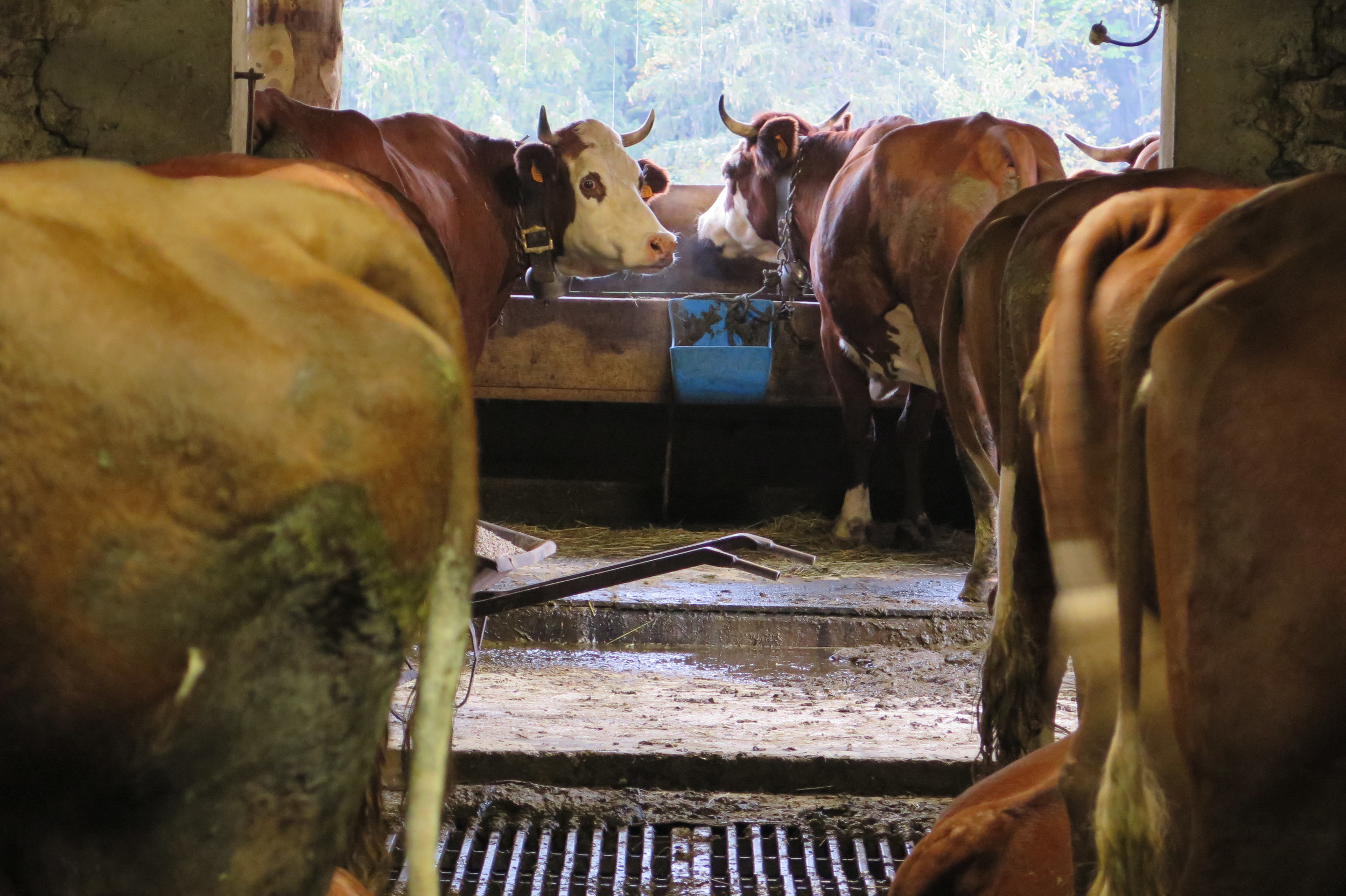 Abondance cows