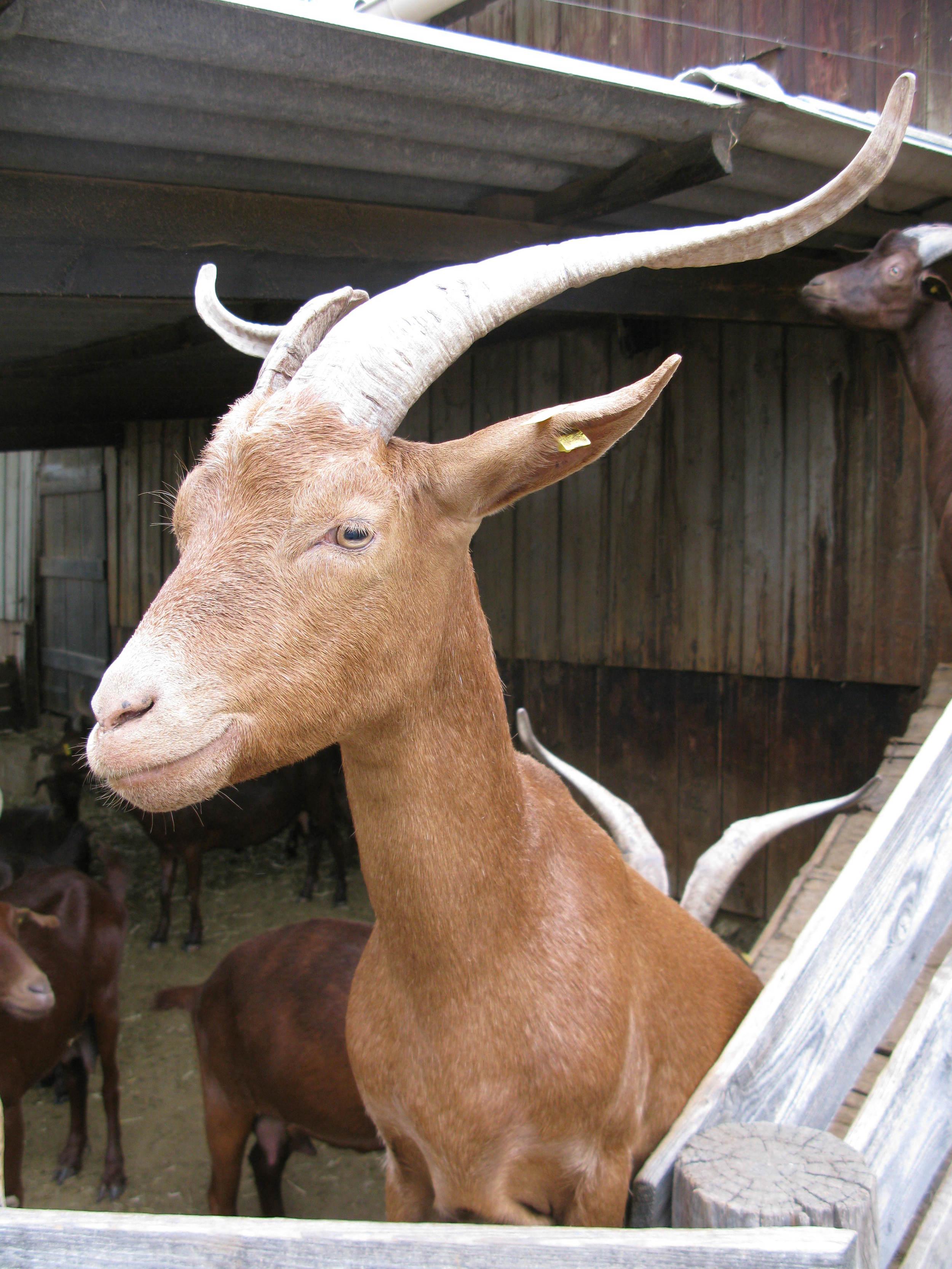 Provencal goat