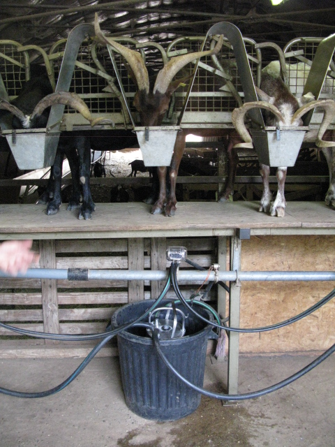 Rove goats in the milking parlour