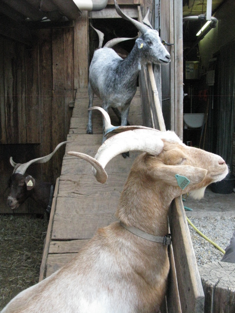 Rove and Provencale goats