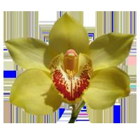 Cymbidium Orchid   Season: Year Round   Colors: White, Purple, Burgundy, Yellow, Orange, Green  Price Range: High End