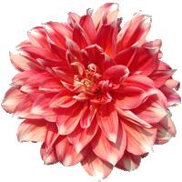 Dahlia    Season: June to November   Colors: Many Colors  Price Range: High End