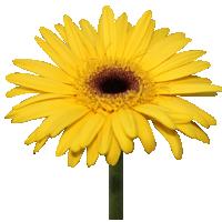 Gerbera Daisy    Season: Year Round   Colors: White, Pink, Yellow, Orange, Red  Price Range: Modest