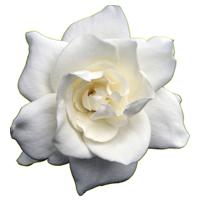 Gardenia   Season: Year Round  Colors: White  Price Range: High End