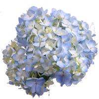 Hydrangea   Season: Year Round  Colors: White, Blue, Green, Pink  Price Range: Fair