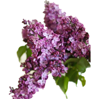 Lilac    Season: March to May   Colors: White, Violet  Price Range: High End