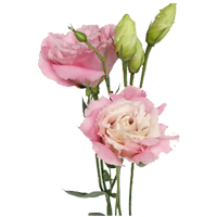 Lisianthus    Season: May to September   Colors: White, Purple, Pink  Price Range: Fair