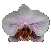 Phalaenopsis      Season: Year Round   Colors: White, Purple  Price Range: High End