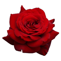 Rose    Season: Year Round   Colors: Many Colors  Price Range: Modest