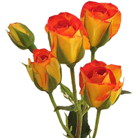Spray Rose    Season: Year Round   Colors: Many Colors  Price Range: Modest