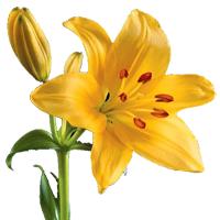 Asiatic Lily    Season: Year Round   Colors: White, Pink, Yellow, Orange  Price Range: Fair