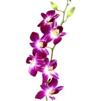 Dendrobium Orchid    Season: Year Round   Colors: White, Pink, Purple, Yellow  Price Range: Fair