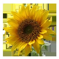 Sunflower   Season: April to November  Colors: Yellow  Price Range: Fair